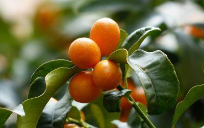Come here, my little kumquat